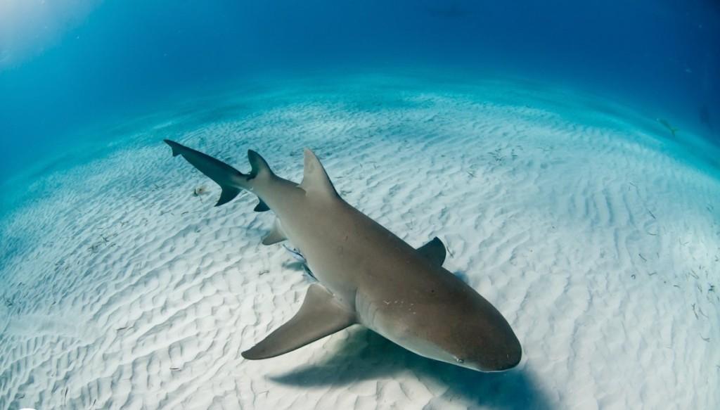 австралия белая акула видео