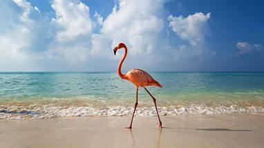 доминикана фламинго