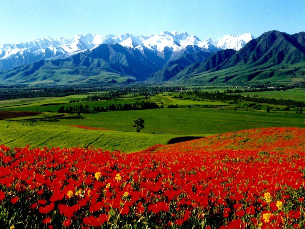 киргизия цветы