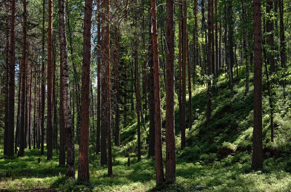 сямозеро - лес