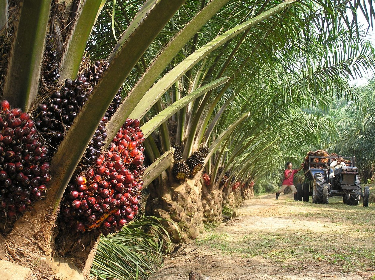 palm oil Palm oil is an edible vegetable oil high in saturated fats and free of trans fats the oil palm tree (elaeis guineensis) is a native to west africa and was imported into se asia in the mid 19th century oil palm flourishes in the humid tropics and produces high yield when grown 10 degr.