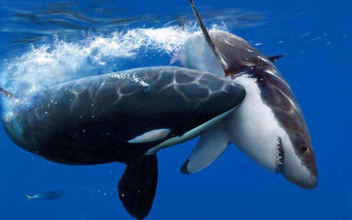 видео схватки белого медведя с акулой