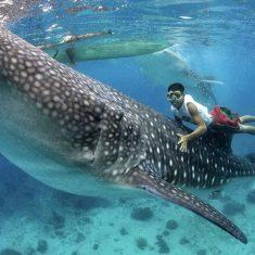 акула тигровая фото